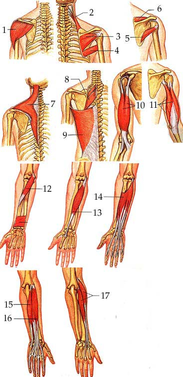muscles of arm. Arm amp; Leg Muscle Practice Test