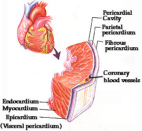 Heart structure the heart and the proximal ends attached directly to the heart of the large blood vessels are encased by the pericardium the pericardium consists of an ccuart Images