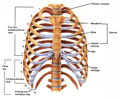 skeleton is the rib cage,