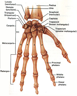 The palm of the hand contains the metacarpal bones.