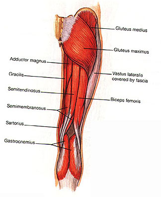 muscles of the human body, Muscles