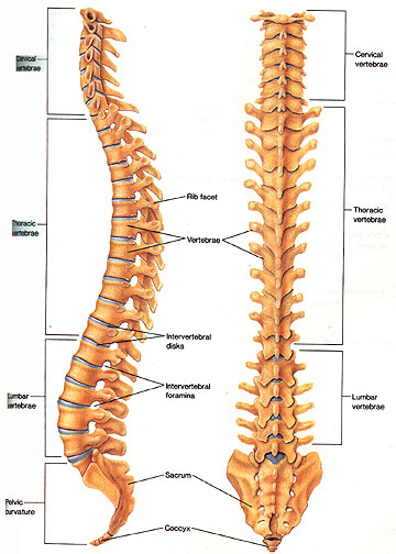 The discs serve as the cushioning between your individual vertebrae (bones).